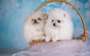 Picture background, basket, puppies, pair