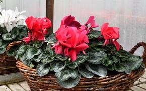 Picture flower, basket, cyclamen