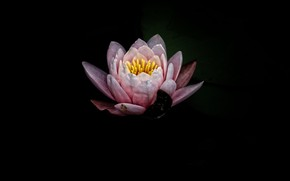 Picture flower, flowers, background, Lotus, flower, flowers, background, lotus