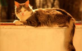 Picture cat, look, grey, lies, grey, cat, the parapet, Bokeh, tri-color, scumbria, striped, fluffy