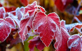 Wallpaper frost, red leaves, blur