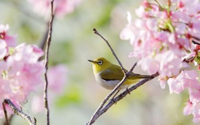 Picture tree, bird, branch, Sakura, flowering