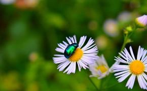 Wallpaper Bokeh, Macro, Bokeh, chamomile, beetle, Macro, Flowers, Flowers, Insect