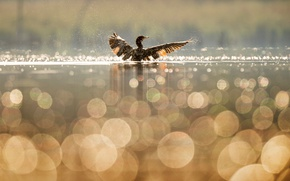 Picture water, squirt, lake, reflection, bird, wings, duck, bokeh, cormorant