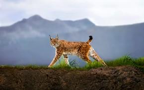 Picture look, predator, lynx, Walking Lynx