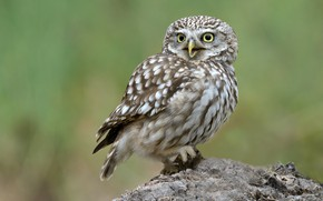 Picture birds, owl, stump, bokeh, little owl
