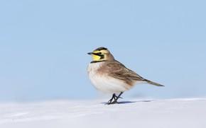 Picture snow, bird, beak, horned lark