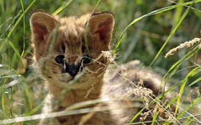 Picture grass, baby, Serval