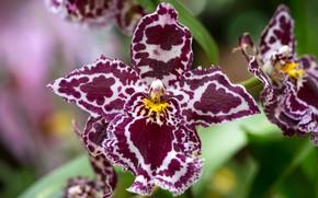Picture macro, petals, exotic, Orchid