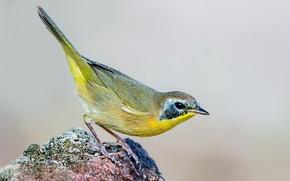 Picture bird, beak, tail, geliogaliu songster