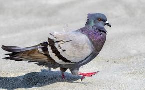 Picture bird, dove, steps