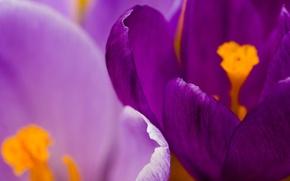 Picture flower, Krokus, saffron