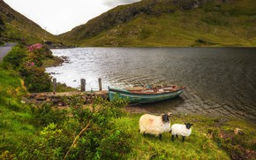 Picture greens, grass, flowers, mountains, lake, stones, shore, boat, sheep, Ireland, Salrock