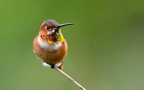 Picture birds, branch, Hummingbird
