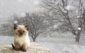 Picture winter, cat, kitty