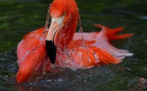 Picture water, bird, Flamingo