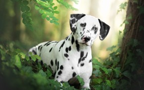 Wallpaper dog, look, Dalmatian, grass