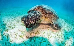 Picture blue, turtle, the bottom, underwater world, under water