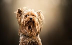 Picture background, portrait, Yorkshire Terrier, dog