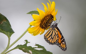 Wallpaper flower, butterfly, sunflower, moth, monarch