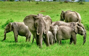 Picture greens, grass, trees, nature, elephants, the herd, bokeh