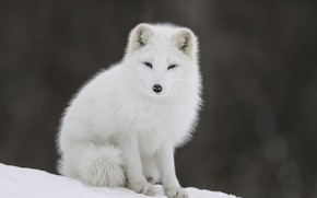 Picture Nature, Winter, White, Snow, Fox