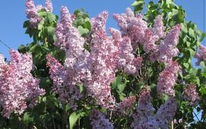 Picture flowers, Bush, lilac, spring 2018, Meduzanol ©