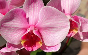 Picture flower, pink, Orchid
