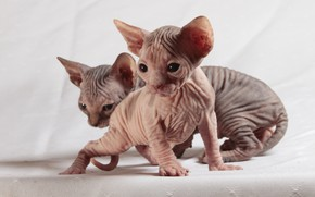 Wallpaper cats, kitty, eyes, leather, kittens, kitty, a couple, light background, two, folds, faces, Sphinx, sphinxes, ...