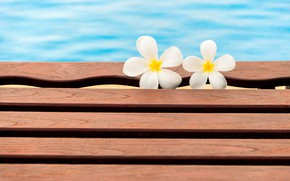 Picture flowers, pool, summer, white, wood, flowers, plumeria, plumeria