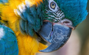 Picture macro, bird, feathers, beak, parrot, blue-and-yellow macaw