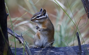 Picture Chipmunk, stand, rodent