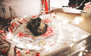 Picture cat, light, holiday, new year, bed, neon, blanket, light, new year, cat, neon, celebration, bed, …