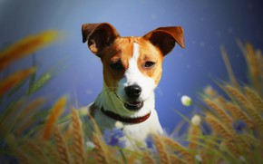 Picture dog, Jack Russell Terrier, ears, background, each