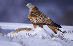 Picture snow, bird, bird of prey