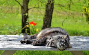 Picture greens, cat, grass, cat, look, light, trees, bench, branches, pose, Park, grey, lawn, stay, spring, …