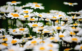 Picture field, petals, meadow, perennial Daisy