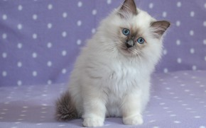 Picture look, background, portrait, kitty, blue eyes, Ragdoll