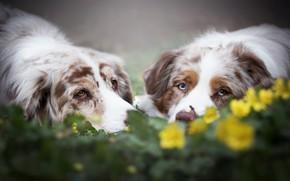 Picture look, flowers, a couple, muzzle, bokeh, two dogs, Australian shepherd, Aussie