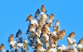 Picture the sky, snow, birds, tree, Finland, the Waxwing, Kuusamo