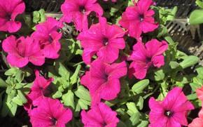 Picture bright, Petunia, petunias, spring 2018, Mamala ©