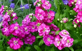 Picture macro, raspberry, gillyflower