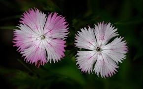 Picture flowers, nature, petals, Carnation