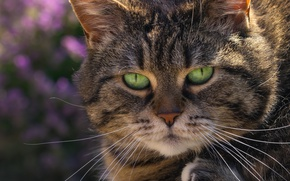 Picture cat, look, muzzle, green eyes, kotofey