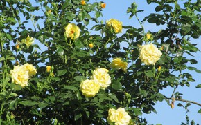 Picture flowers, Bush, roses, yellow, spring 2018, Mamala ©
