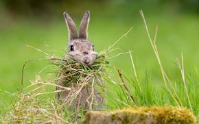 Wallpaper Nesting Rabbit, grass, rabbit