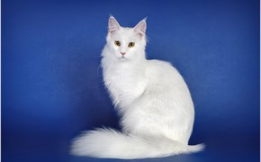 Picture cat, look, blue background