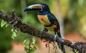 Wallpaper Toucan, aracari, collared aracari, birds