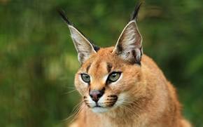 Picture face, predator, ears, brush, Caracal, steppe lynx
