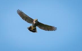 Picture birds, predator, flight, crested hawk